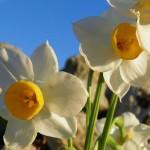 In-Narciz
